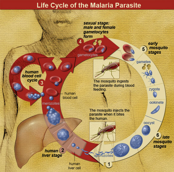 Malaria parasite life cycle (By national Institute of Allergy and Infectious Diseases [Public domain], via Wikimedia Commons)