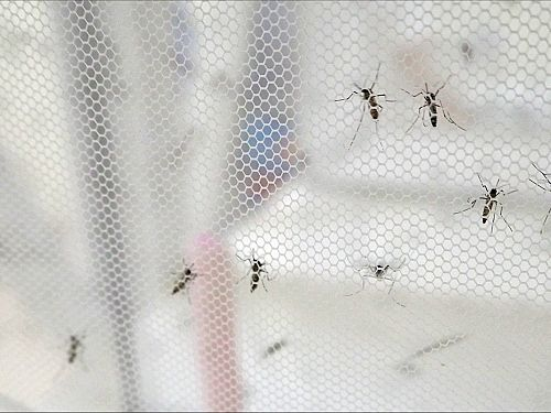 Photo for: New research on Wolbachia is encouraging in the fight against dengue